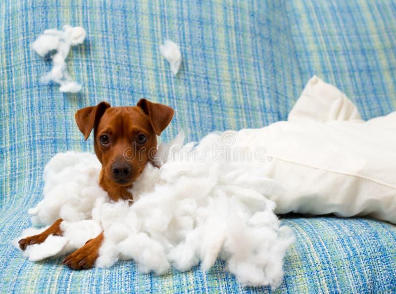 Ongehoorzame speelse puppyhond na het bijten van een hoofdkussen stock foto's