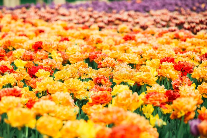 Ongelooflijk mooie de lente oranje tulpen in het park stock foto's