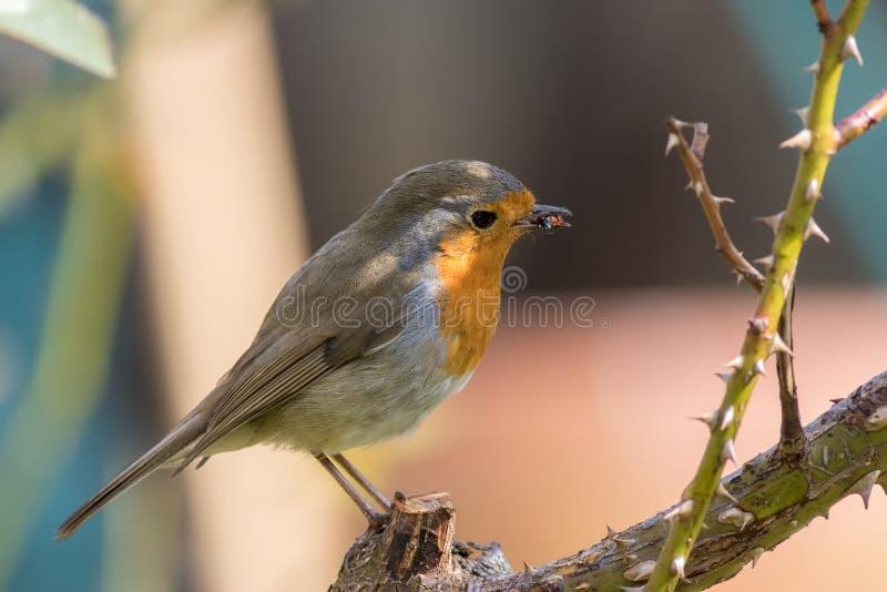 Ongelukkig onzelieveheersbeestje De vogel die van de het roodborstjetuin van Robin een lieveheersbeestjeinsect eten stock foto