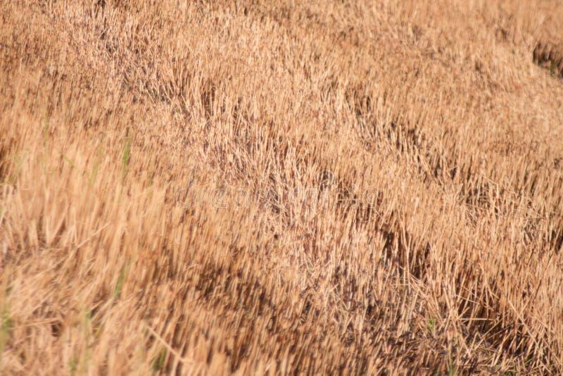 Ongepelde rijstachtergrond in Thailand. stock foto
