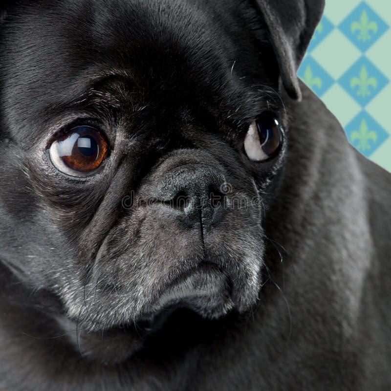 Ongerust gemaakte Pug royalty-vrije stock fotografie