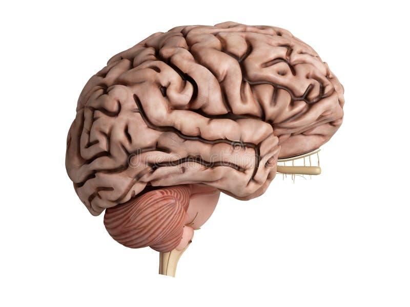 Ongezonde hersenen stock illustratie