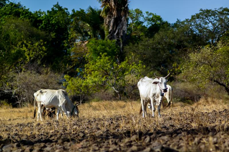 Ongole cattle - Bos taurus. Is an indigenous cattle breed that originates from Prakasam District in the state of Andhra Pradesh in India. The breed derives its stock photography