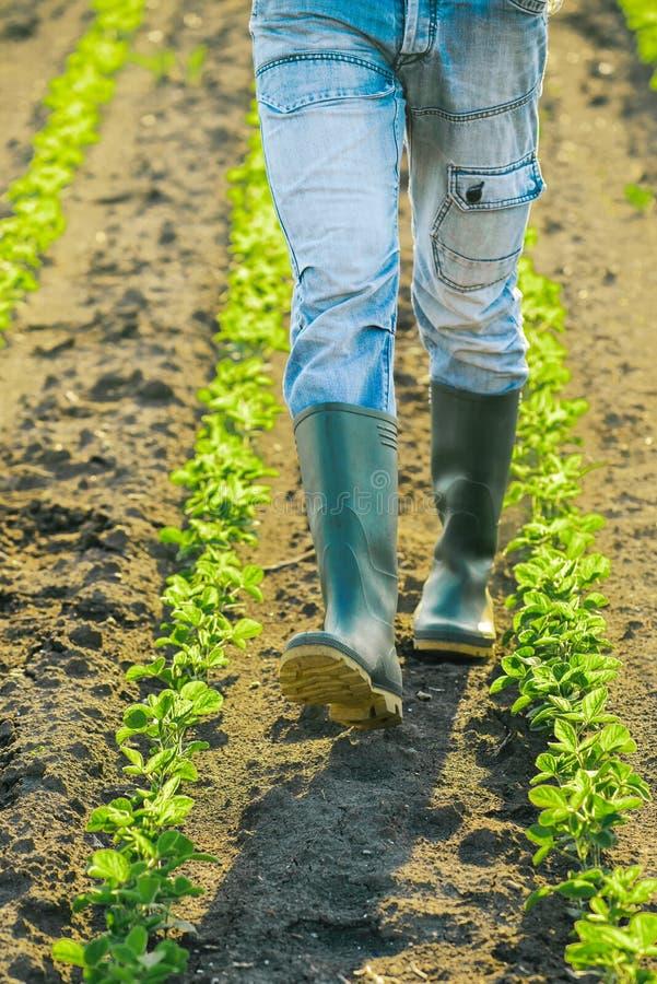 Onherkenbare mannelijke landbouwer die door de rijen van sojabooninstallaties lopen stock afbeelding