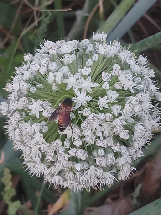 Oniean-Samen Blume und moscito stockbild