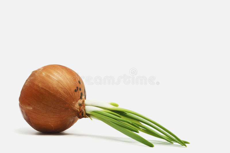Download Onion stock photo. Image of spice, spring, rotten, onions - 18873818