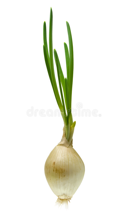 Free Onion Royalty Free Stock Photo - 7812315