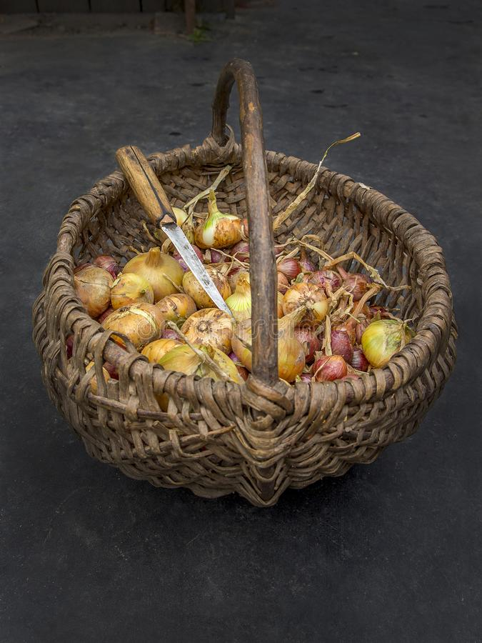Onion in the basket. Onions in a wicker basket on black background. Still life from harvested onion with knife in basket. Rustic vintage still life. Vegetable in stock photo