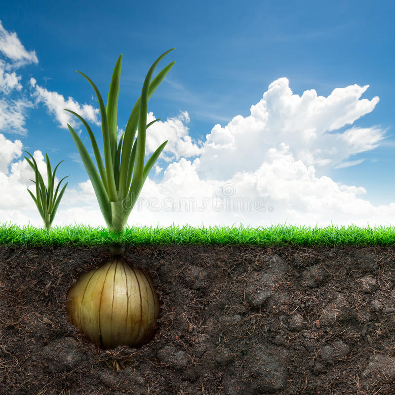 Onion Bulb and Grass in Blue sky stock photography