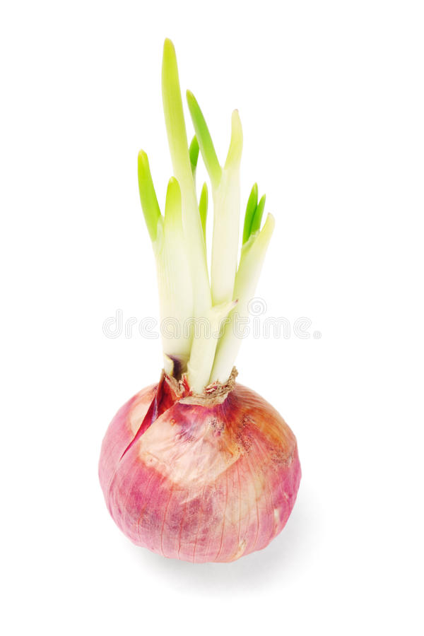 Onion bulb growing with shoots stock photos