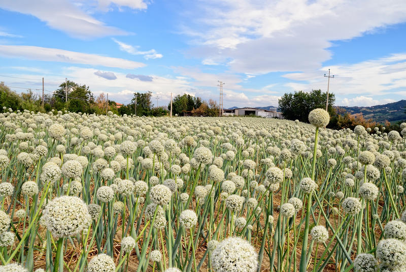 Download Onion Field In Countryside In Italy Stock Photo - Image: 36699806