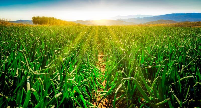 Onion field at sunrise stock photos