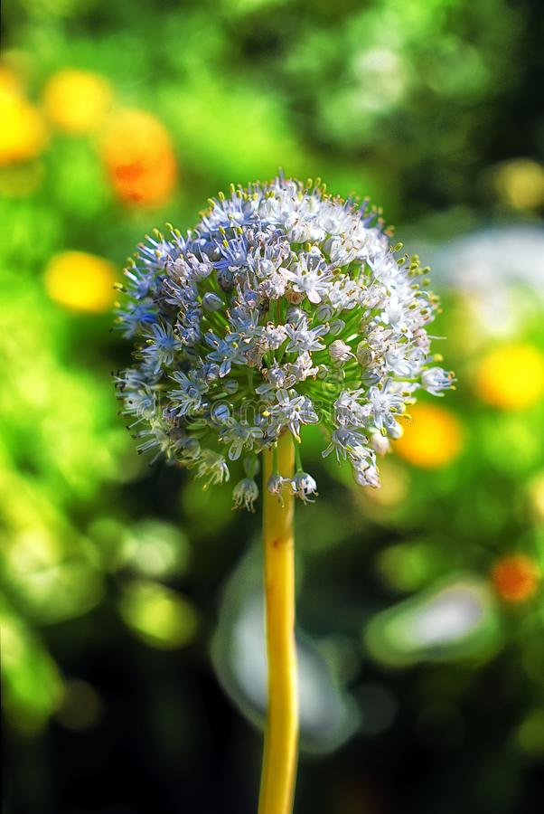 Onion flower in the sunlight royalty free stock photo