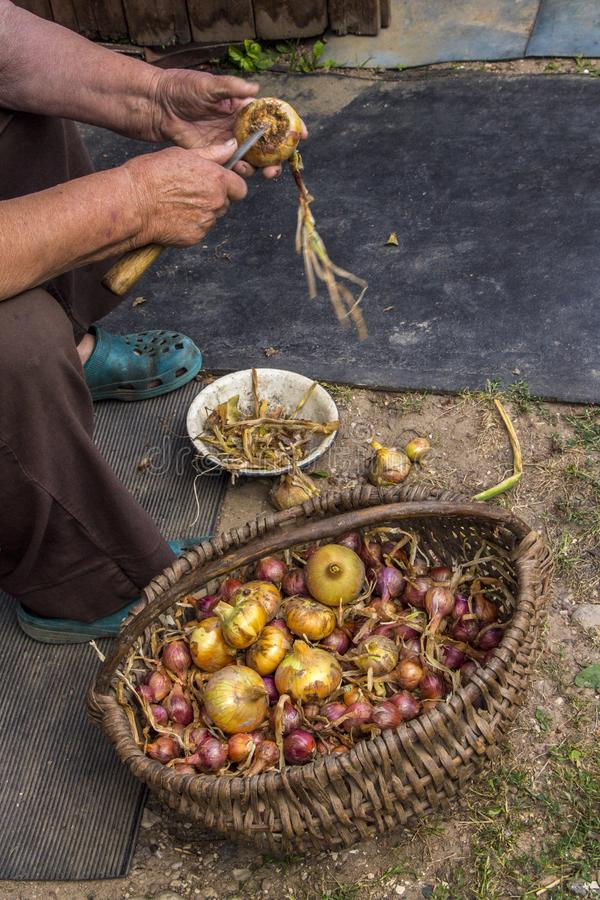 Onion grading and cleaning. A woman hands is cleaning a bow. View from side. Onion grading and cleaning. Farmer cleaning onion royalty free stock photography