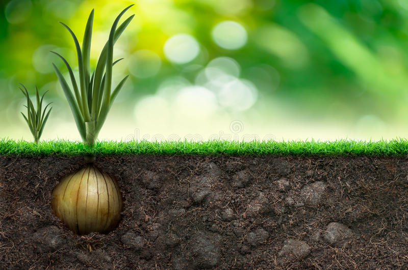 Onion And Grass in Green Background royalty free illustration