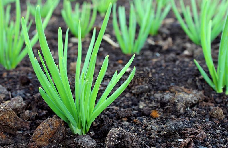 Green onions growing in the open ground stock photos