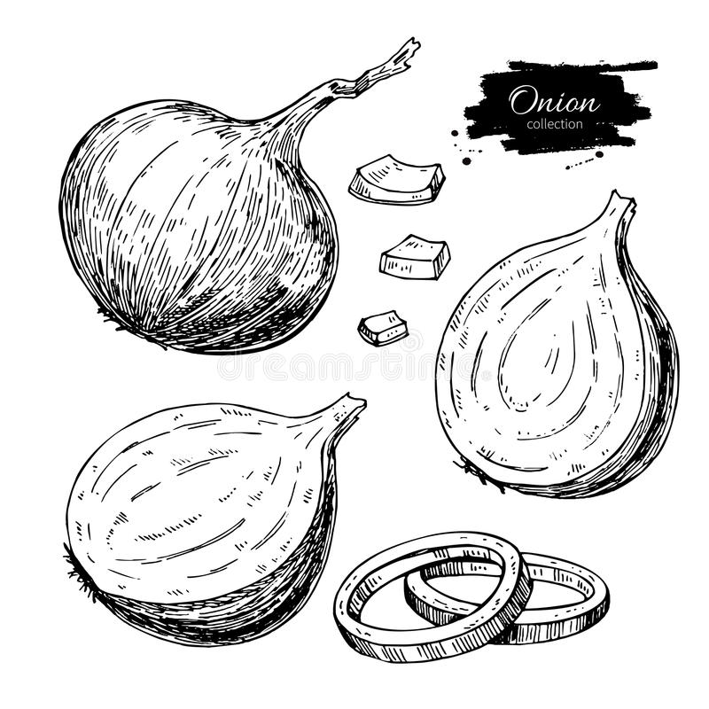 Onion hand drawn vector set. Full, rings and Half cutout slice. Isolated Vegetable. Engraved style object. Detailed vegetarian food drawing. Farm market product royalty free illustration