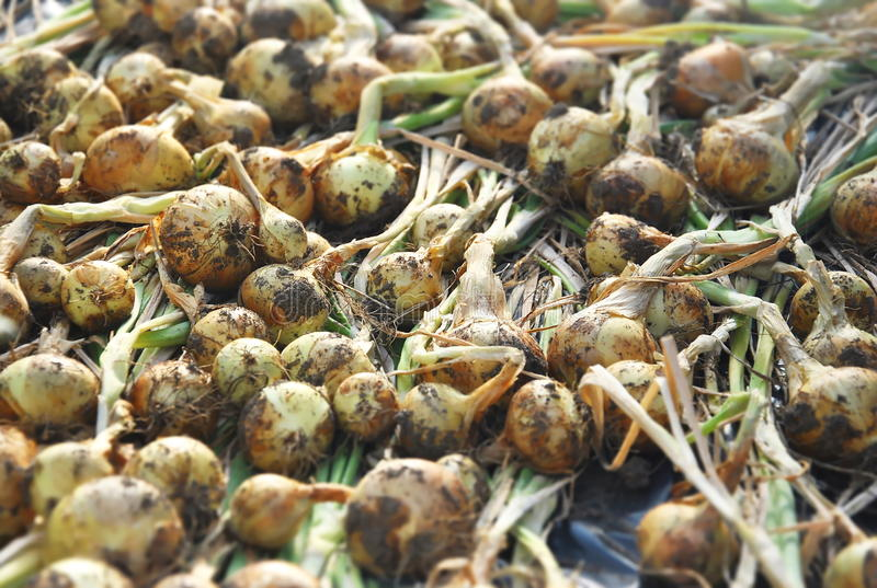 Onion harvest royalty free stock photo