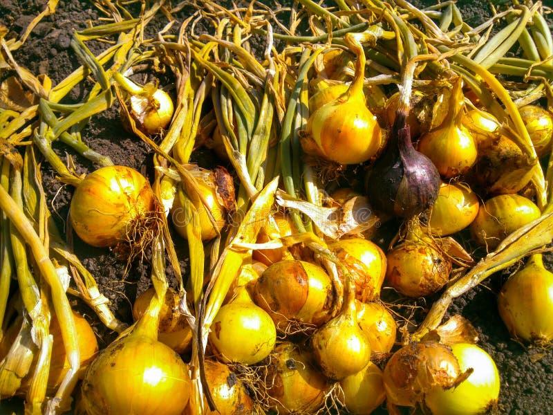 Onion harvest. Ingathering onion harvest stock images