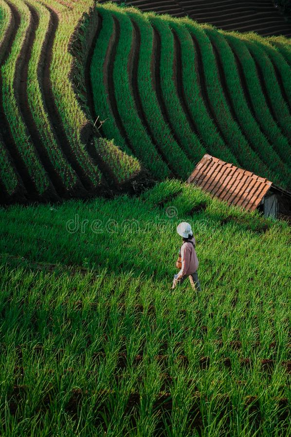 Green Line Pattern Plantation terracing. Onion plantation in Argapura Majalengka, west java, indonesia stock image