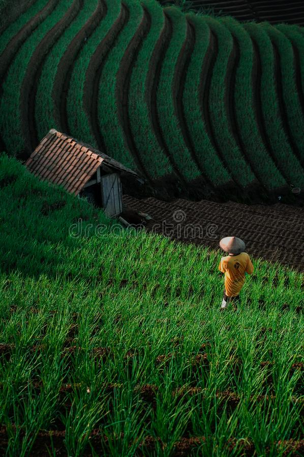 Green Line Pattern Plantation terracing. Onion plantation in Argapura Majalengka, west java, indonesia stock photo