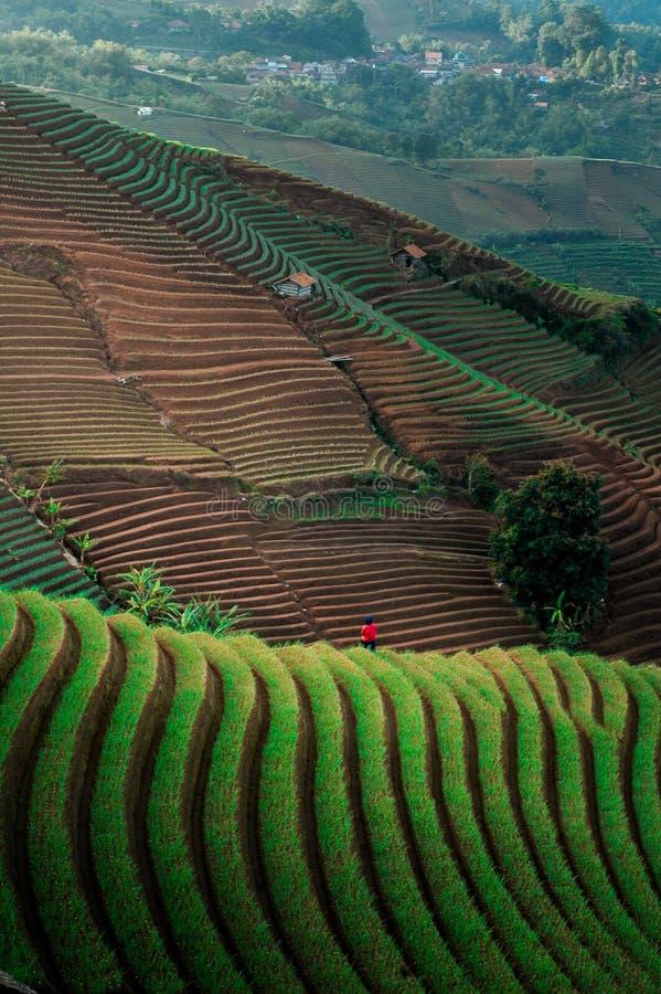 Green Line Pattern Plantation terracing. Onion plantation in Argapura Majalengka, west java, indonesia royalty free stock image