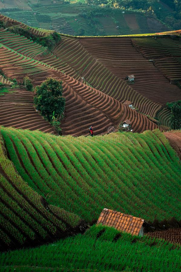 Green Line Pattern Plantation terracing. Onion plantation in Argapura Majalengka, west java, indonesia stock photography