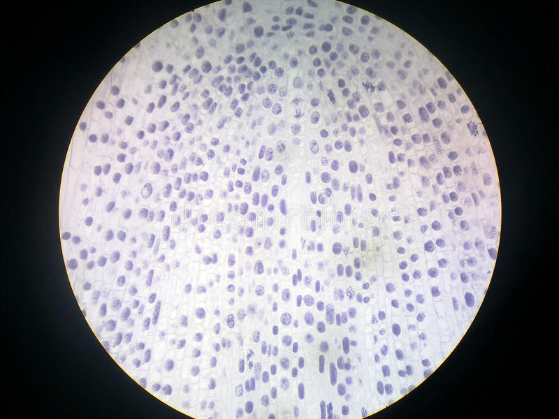 Onion root tip cells. Under a microscope stock photos