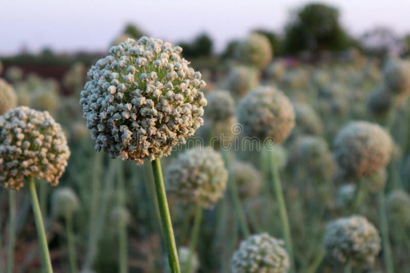 Onion seed crop in a farm stock photos