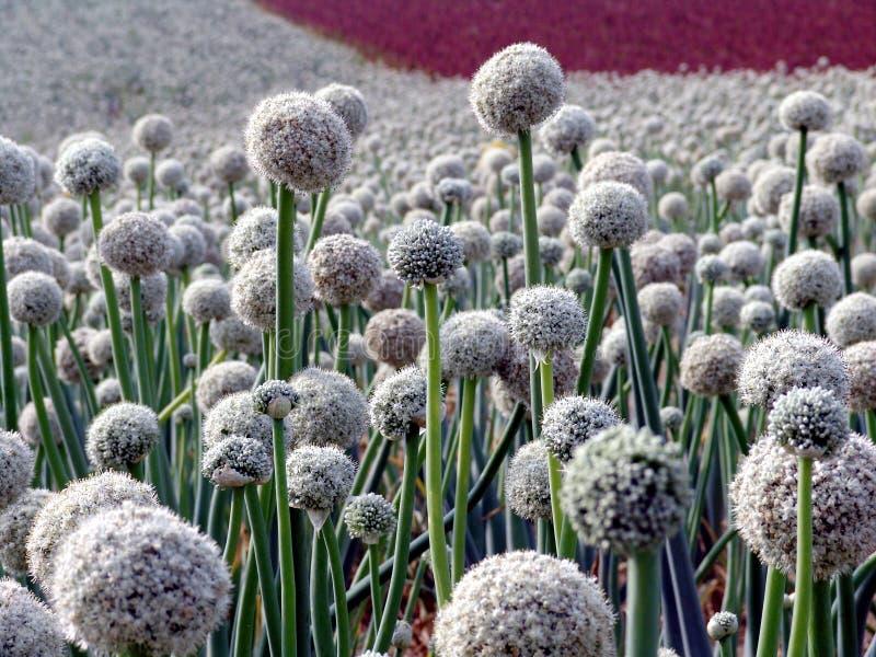 Onion seed field royalty free stock photo