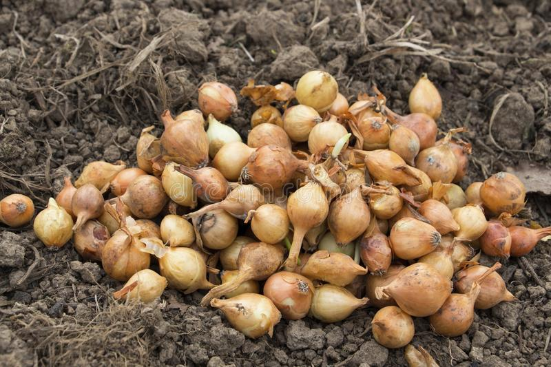 Download Onion seed stock image. Image of heap, ground, organic - 92207821