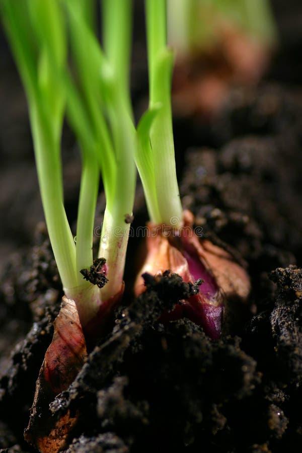 Onion shoot royalty free stock photo