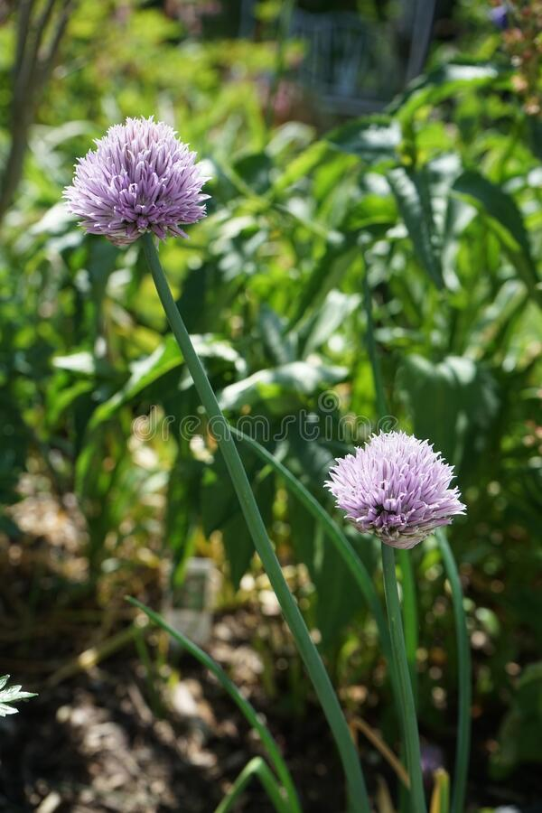 The onion is a vegetable that is the most widely cultivated species of the genus Allium. Germany royalty free stock photos