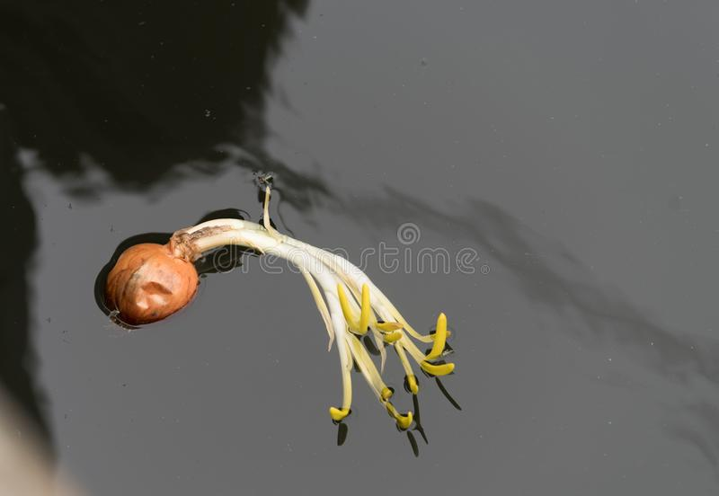 Onion in water royalty free stock image