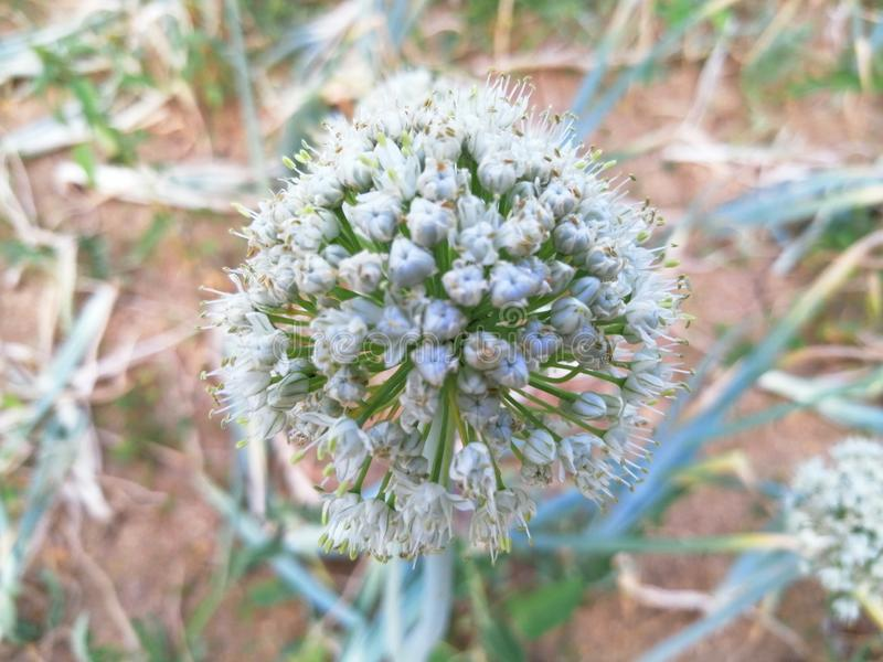 Onion white flower royalty free stock photo
