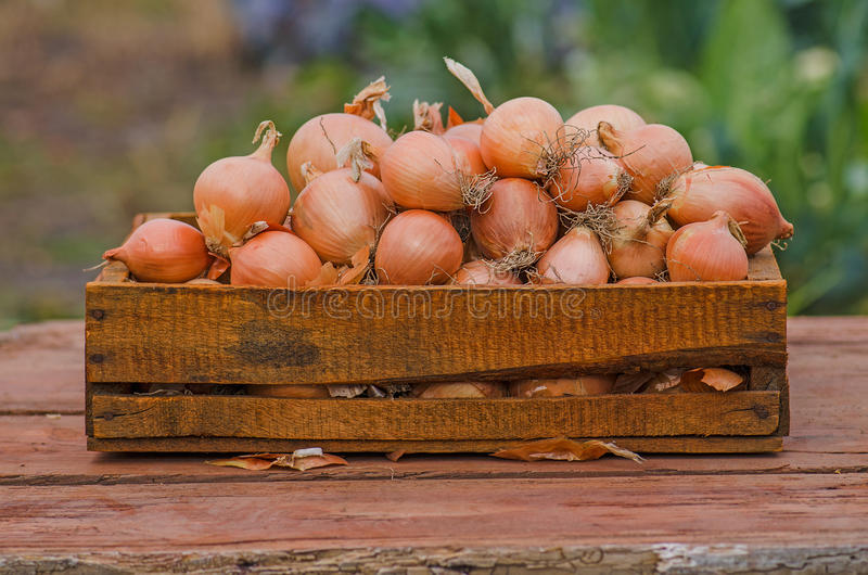 Onion in wooden box. A lot of onions in crate. Yellow onion in the wooden box royalty free stock images
