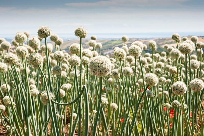 Onionfield de florescência em Italy central fotos de stock