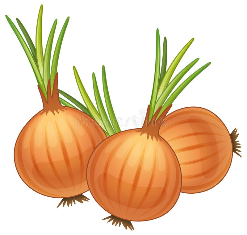 Onions vector illustration