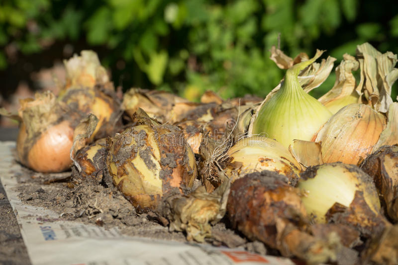 Onions. Drying in the sun after harvesting stock photo