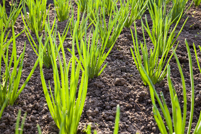 Download Onions field stock image. Image of freshness, garden - 35739089
