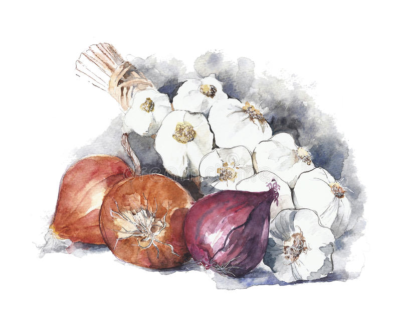 Onions and garlic watercolor painting isolated on white royalty free illustration