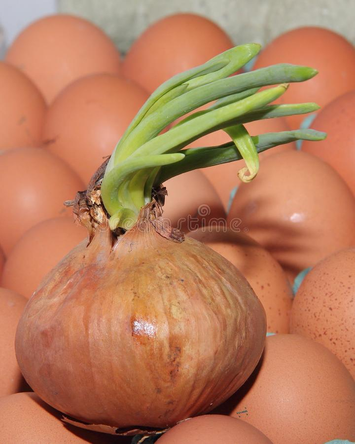 Onions with green sprouted feathers lying on the surface of the eggs.  royalty free stock photography
