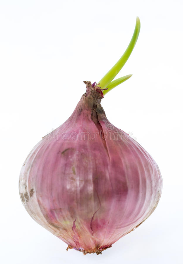 Onions. Red onion with green sprout isolated on white royalty free stock photography