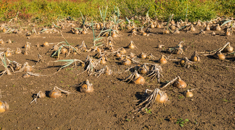 Onions in a wet field. The field was flooded and the onions have become unusable. They are now rotting and the farmer is very disadvantaged by the great damage stock photo