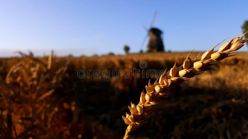 Onkruid met een windmeel royalty-vrije stock afbeelding