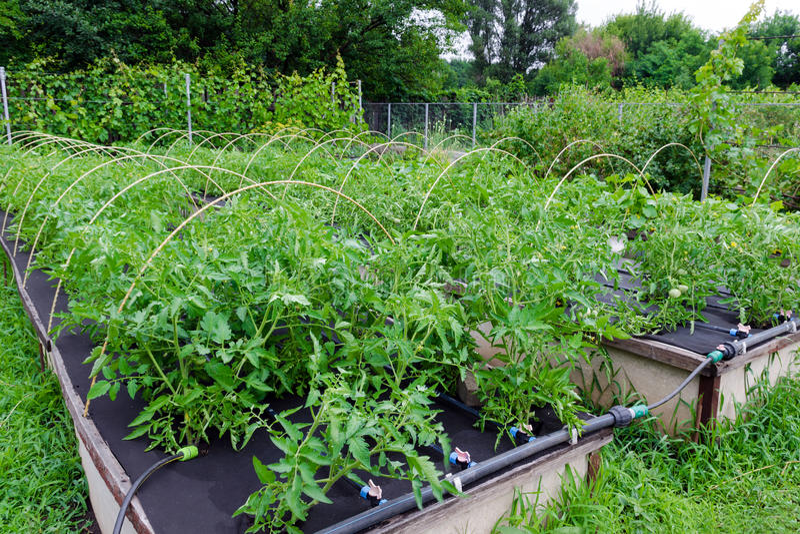 Onkruidcontrole - het groeien tomaten in een Niet-geweven Spunbond stock afbeelding