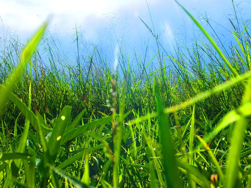 Onkruidgras dat op het landbouwbedrijf op de hemelachtergrond volgestopt is stock foto