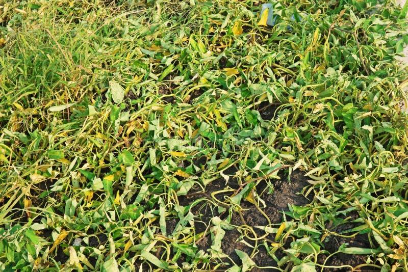 Onkruidsymptoom na het bespuiten van herbicide royalty-vrije stock afbeeldingen