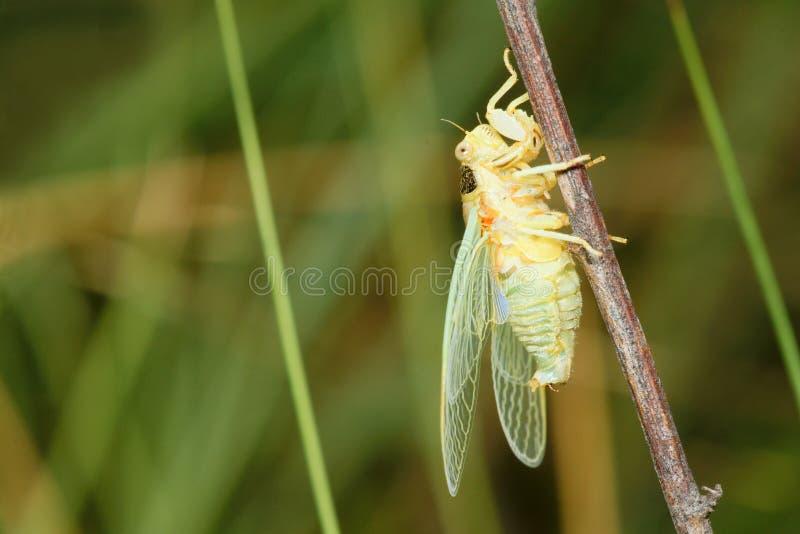 Onlangs cicade royalty-vrije stock afbeelding