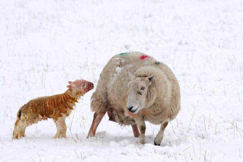 Onlangs geboren lam in de sneeuw royalty-vrije stock afbeelding